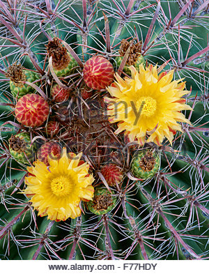 Fishhook barrel cactus [Ferocactus wislizenii] Saguaro National Park. Arizona. - Stock Photo