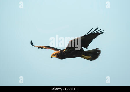 Western marsh harrier, Circus aeruginosus, searching and hunts for a prey above a field - Stock Photo