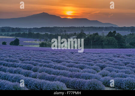 Lavender field , near  Sault , sunset, Vaucluse, Alpes-de-Haute-Provence, landscape, Mont Venteaux,  Provence, France - Stock Photo