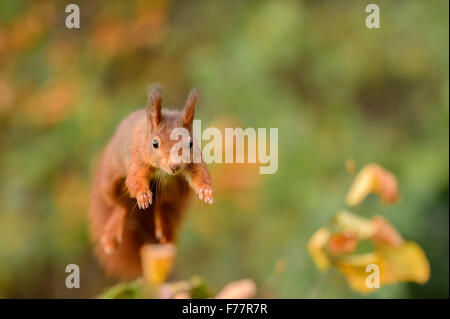 Leaping red squirrel, jumping frontal towards the viewer - Stock Photo
