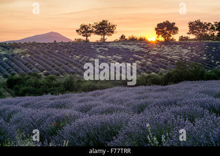 Lavender field , near Banon, sunset, Vaucluse, Alpes-de-Haute-Provence, landscape, Mont Venteaux,  Provence, France - Stock Photo