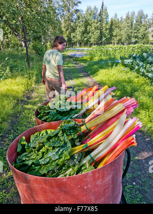 Farmer 'female'  transporting harvested organic Rainbow Swiss Chard. - Stock Photo