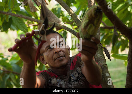 A farmer cuts ripe cocoa pods off a tree during harvest on his small farm February 23, 2015 in Isla de la Amargura, Careers, Colombia. Cocoa pods are dried and fermented becoming the basis of chocolate. Stock Photo