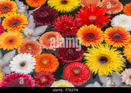 Swimming flowers, Gerbera Daisy, fountain, Zurich, Switzerland - Stock Photo