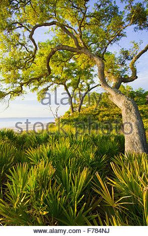 'Saw palmetto' and [Sand live oak] 'St. Catherine's Island' Georgia. - Stock Photo
