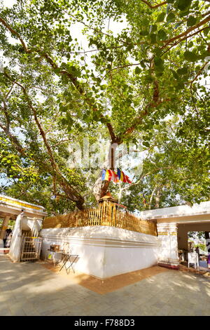 Sri Lanka - Anuradhapura, Sacred Sri Maha Bodhi Tree, UNESCO - Stock Photo