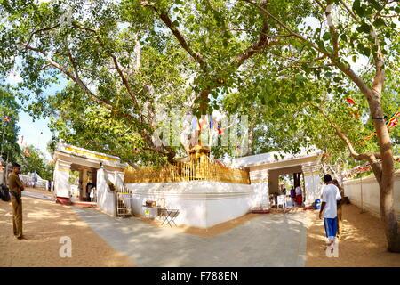 Sri Lanka - Anuradhapura, Sacred Sri Maha Bodhi Tree, UNESCO World Heritage Site - Stock Photo