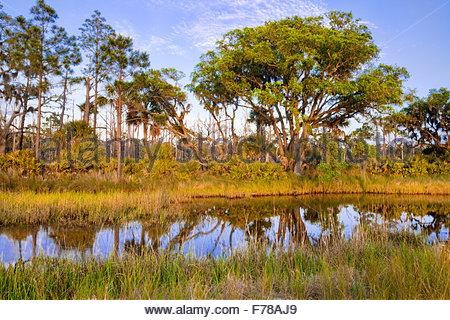 [Salt marsh] with 'Saw palmetto' [Serenoa repens] or [Sabal serrulatum] and [Sand live oak ] - Stock Photo
