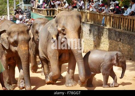 Sri Lanka - elephant coming back from bath, Elephant Orphanage, Pinnawela (village in Kegalla District of Sri Lanka), - Stock Photo