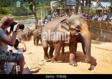 Sri Lanka - tourist looking at elephant coming back from bath, Elephant Orphanage, Pinnawela (Kegalla District of - Stock Photo