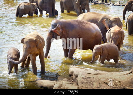 Elephants in the bath - Pinnawela Elephant Orphanage for wild Asian elephants, Sri Lanka - Stock Photo