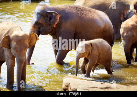 Sri Lanka - elephants in the bath - Pinnawela Elephant Orphanage for wild Asian elephants - Stock Photo