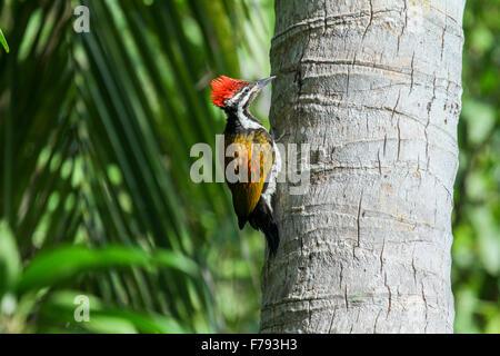 Beautiful woodpecker bird, a male of Greater Flameback (Chrysocolaptes lucidus) - Stock Photo
