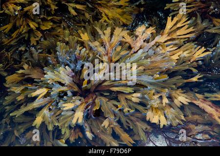 Seaweed, toothed or serrated wrack Fucus serratus - Stock Photo