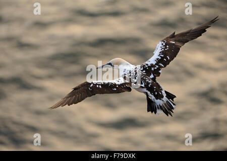 Top view on young Northern Gannet / Basstoelpel ( Morus bassanus ), flying high above golden water. - Stock Photo