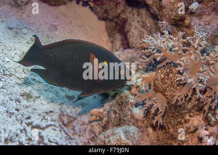 Swarty parrotfish, Scarus niger, Scaridae,  Red Sea, Sharm el-Sheikh, Egypt - Stock Photo