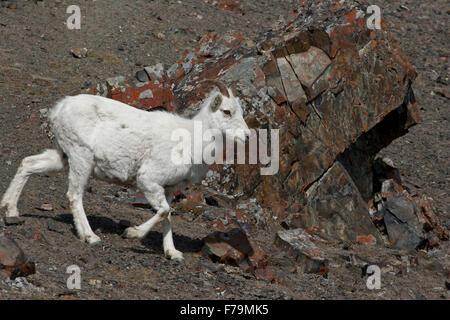 Dall sheep mountain goats wild Canada Yukon ewes - Stock Photo