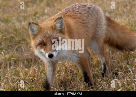 red fox fall Japan fur wild zorro zorra - Stock Photo