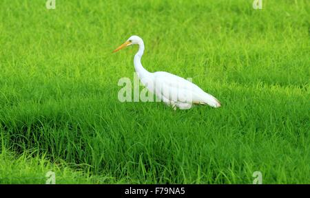 A white heron standing in a field of rice - Stock Photo