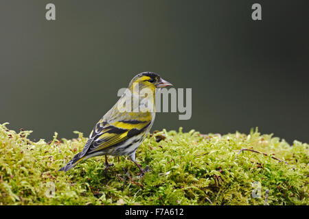 Colorful Eurasian Siskin / Erlenzeisig ( Spinus spinus / Carduelis spinus ) sits on a bunch of moos. - Stock Photo