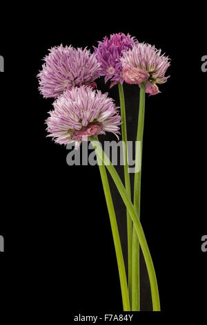 Closeup on chive flowers on black background - Stock Photo