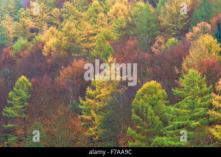 Autumnal mixed forest with larches (Larix), spruce trees (Picea abies) and beech trees (Fagus sylvatica), North - Stock Photo