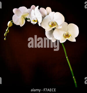 detail of the beautiful white flowers of a Phalaenopsis aphrodite orchid against a gradient brown background - Stock Photo