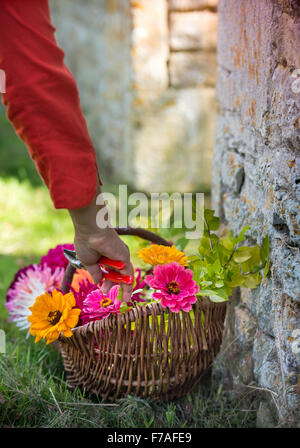 Still life of cut Dahlias and Zinnia flowers in a wicker basket UK - Stock Photo