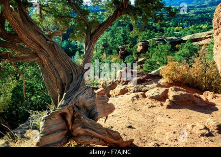 old juniper tree at Garden of the Gods Colorado Springs Stock Photo ...