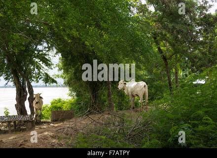 Angkor Ban, Cambodia: Cambodian cows on the banks of the Mekong River - Stock Photo