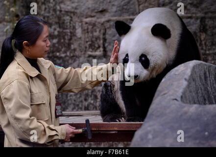 Fuzhou, China. 28th November, 2015. A breeder strokes giant panda Basi at the panda research and exchange center - Stock Photo