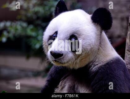 Fuzhou, China. 28th November, 2015. Giant panda Basi takes rest at the panda research and exchange center in Fuzhou, - Stock Photo