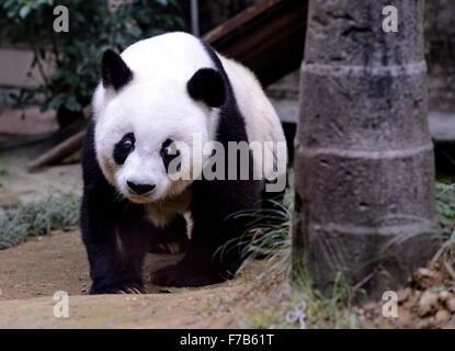 Fuzhou, China. 28th November, 2015. Giant panda Basi takes a walk at the panda research and exchange center in Fuzhou, - Stock Photo