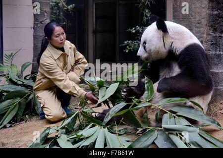 Fuzhou, China. 28th November, 2015. Giant panda Basi eats bamboo at the panda research and exchange center in Fuzhou, - Stock Photo