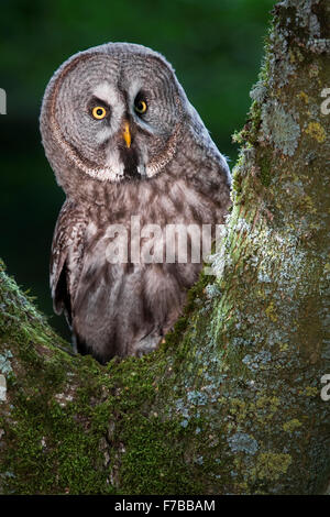 Great Grey Owl - Stock Photo