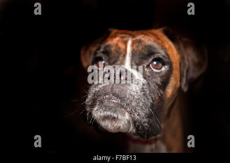 Boxer dog chin, nose,brown eyes, head up out of darkness - Stock Photo