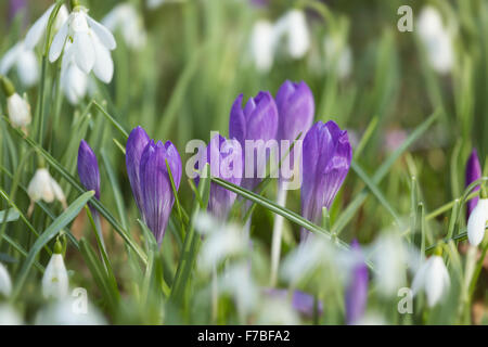 Purple Crocus and Snowdrops, Galanthus nivalis, in a Graveyard in Worcestershire, England. - Stock Photo