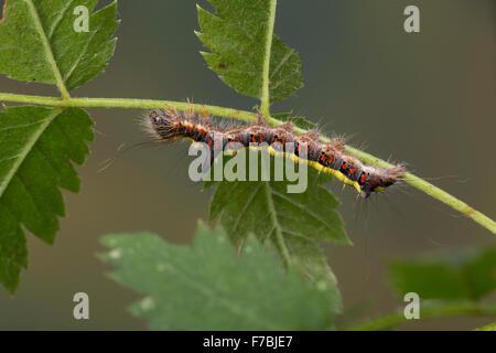 Grey dagger moth, caterpillar, Pfeileule, Raupe, Pfeil-Eule, Schleheneule, Acronicta psi, Acronycta psi, Apatele - Stock Photo
