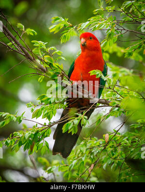 a male king parrot in a tree - Stock Photo