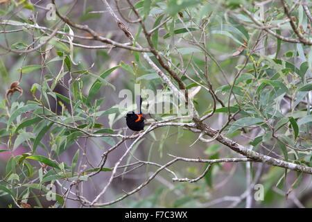 Red-backed fairywren (Malurus melanocephalu) in Australia - Stock Photo