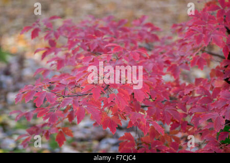 Red paperbark maple foliage in autumn Acer griseum - Stock Photo