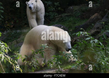 Two mature female polar bears (Ursus maritimus), one pursuing the other
