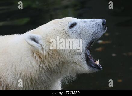Extreme closeup of the head of an angry mature polar bear (Ursus maritimus) growling, showing off his large canine - Stock Photo
