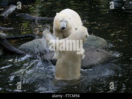 Two feisty female Polar bears (Ursus maritimus) fighting each other on shore, one snarling, the other bear lunging - Stock Photo