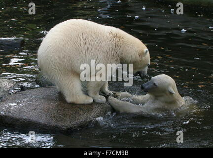 Two spirited female Polar bears (Ursus maritimus) fighting each other on shore, one growling, other surfacing from - Stock Photo