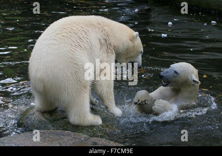 Two feisty female Polar bears (Ursus maritimus) fighting each other on shore, one growling, other surfacing from - Stock Photo