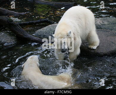 Two spirited mature female Polar bears (Ursus maritimus) fighting each other - Stock Photo