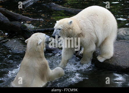 Two aggressive female Polar bears (Ursus maritimus) fighting and confronting each other on shore - Stock Photo