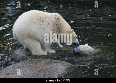 Two female Polar bears (Ursus maritimus) fighting each other on shore, one growling, other surfacing from the water - Stock Photo