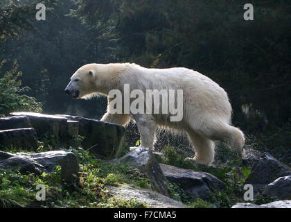 Soaking wet Mature polar bear (Ursus maritimus) just after surfacing from the water, backlit by the sun - Stock Photo